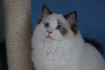 Rohan's Ragdoll Cattery